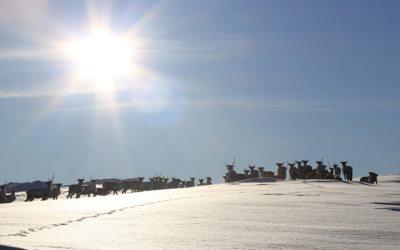 Kan genetikken bidra i bekjempelsen av skrantesjuke hos reinsdyr?