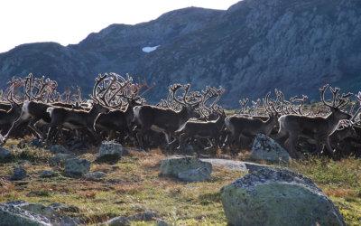 Bukkejakta på  Hardangervidda 2019