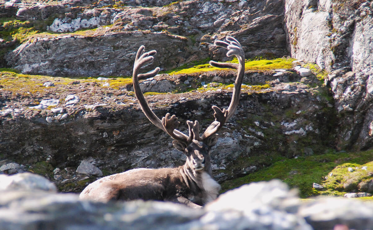 Villreinbukk på Hardangervidda
