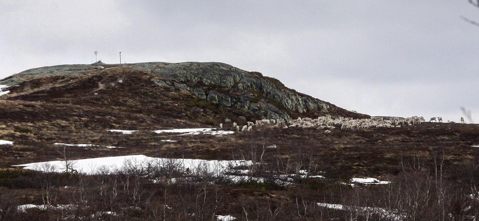 Villreinflokk ved Falkenòbba – Falkenuten