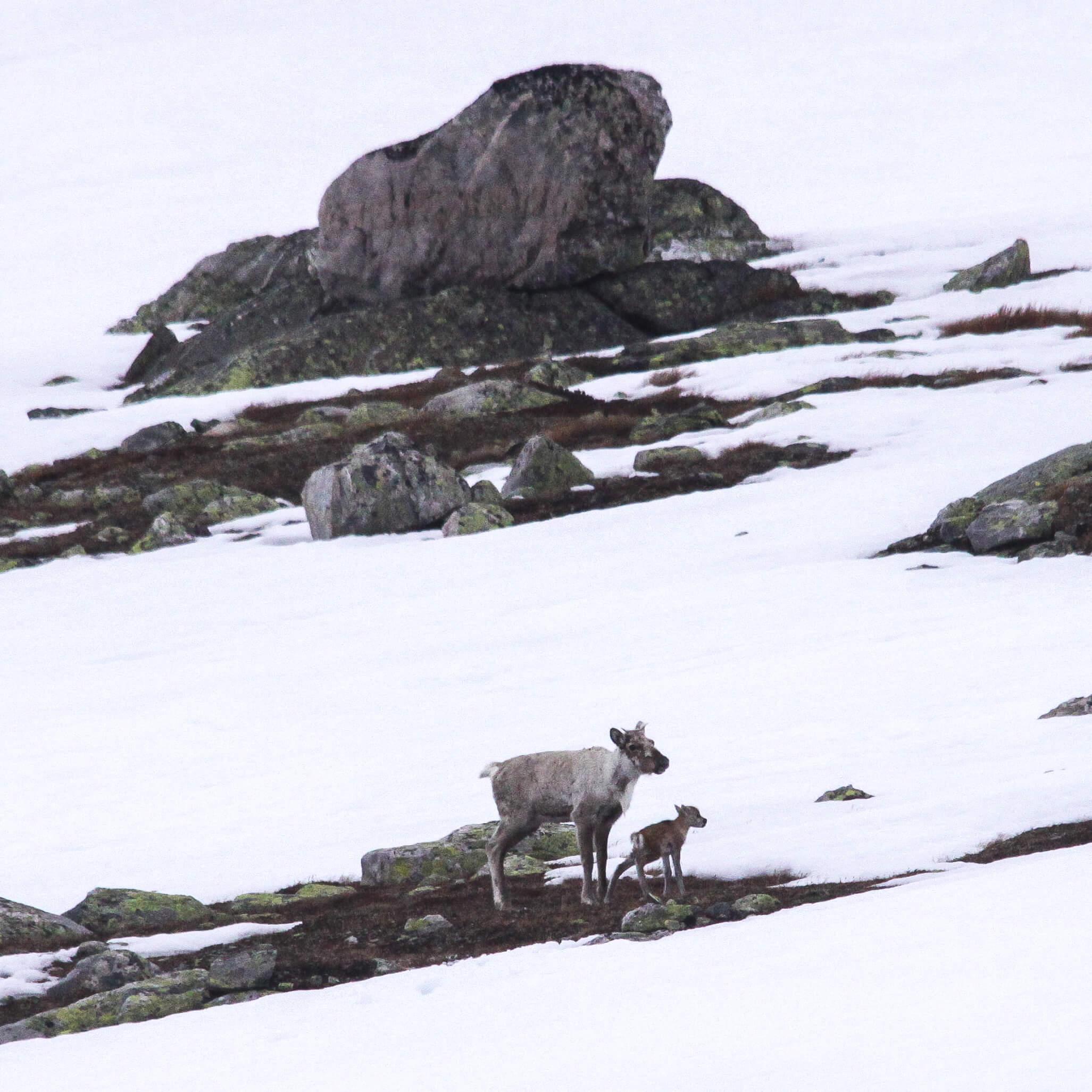 Simle med nyfødd kalv i Godokkeggi