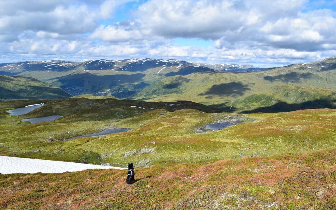 Fjellheimen villreinområde – det grøne fjellet