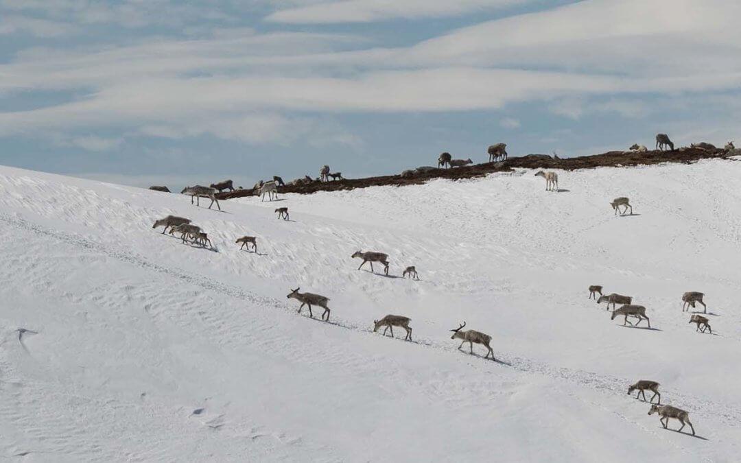 Kalving på Hardangervidda