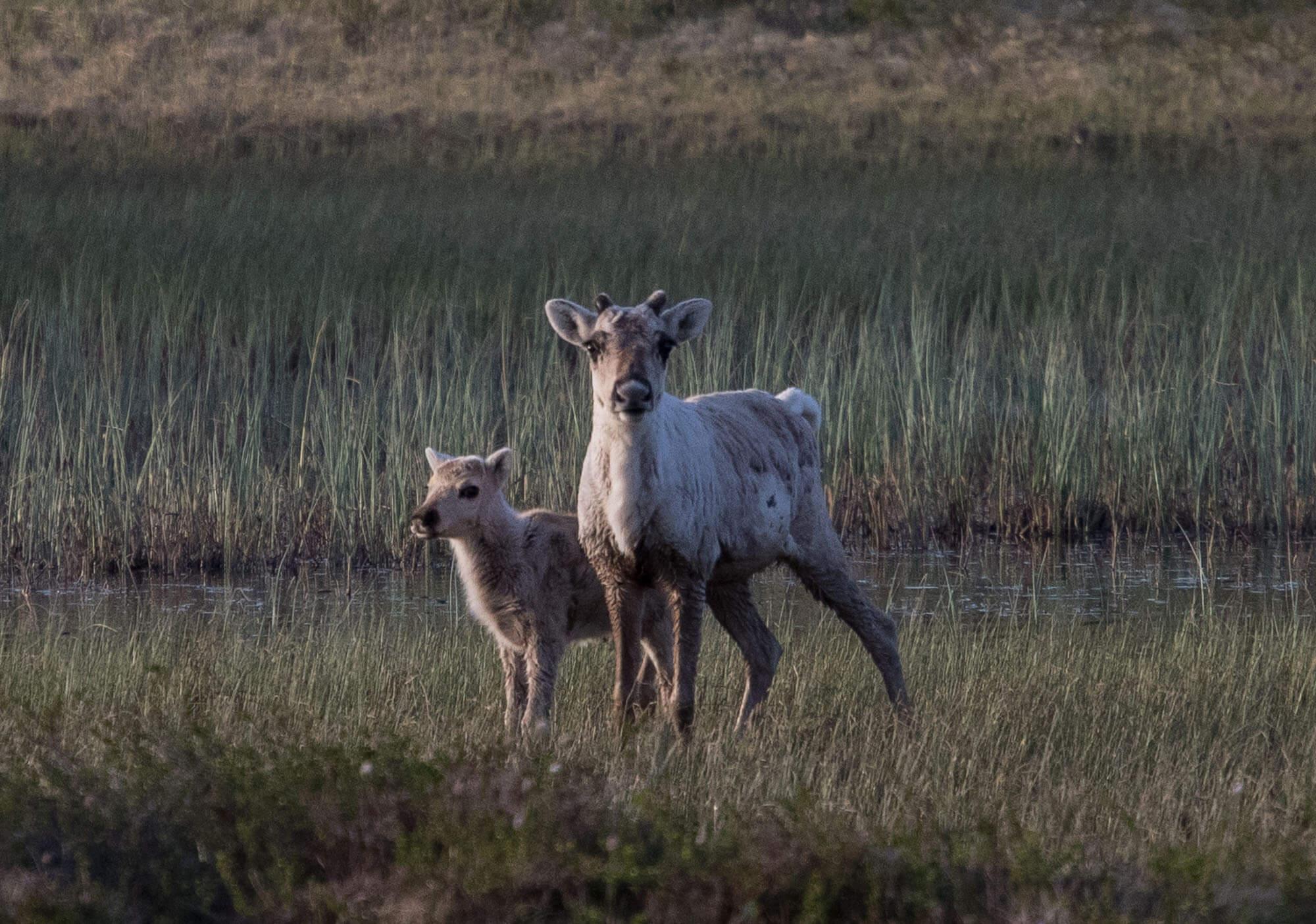 Simle og kalv ved Bjortjønn
